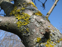 Lichen on a Tree Stock Image