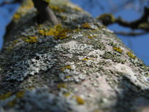 Lichen on a Tree Royalty Free Stock Image