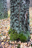 Lichen on the trunk Royalty Free Stock Photos