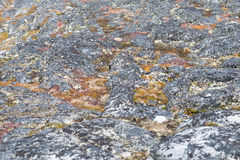 Lichen and tundra vegetation. Detail of lichen and tundra vegetation in Greenland during summer stock photo