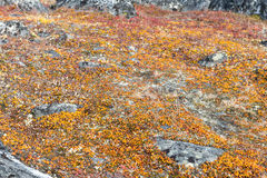 Lichen and tundra vegetation. Detail of lichen and tundra vegetation in Greenland during summer royalty free stock images