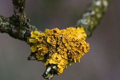 Lichen twig. Macro detail of a yellow lichen on a twig stock photo
