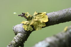 Lichen twig Stock Photography