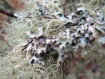 Lichen up Close Royalty Free Stock Photo