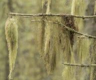 Lichen. Usnea filipendula hangs on dry brunch Stock Images