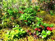Lichen Royalty Free Stock Photos