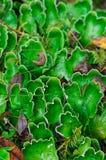 Lichen vert de crabot Photographie stock libre de droits