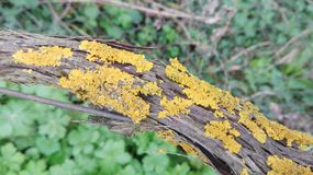 Lichen. On the vine Stock Images