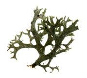 Lichen in a white background. stock photo