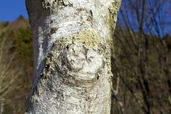 The lichen of the white birch Stock Photos