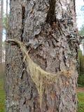 Lichen whitening densely, Usnea dasypoga Royalty Free Stock Photo