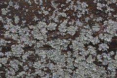 The lichen on the wood texture royalty free stock photography