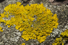Lichen Xanthoria parientina on aspen tree bark macro, selective focus Royalty Free Stock Photography
