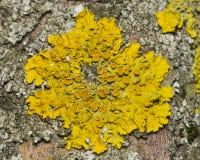 Lichen Xanthoria parientina på den asp- makroen för trädskäll, selektiv fokus Arkivbilder