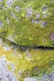 Lichene Fotografia Stock Libera da Diritti