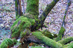 Lichene Immagini Stock
