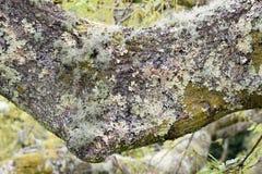 Lichene Immagini Stock Libere da Diritti