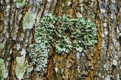Lichene Fotografia Stock