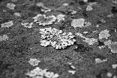Lichene Immagine Stock
