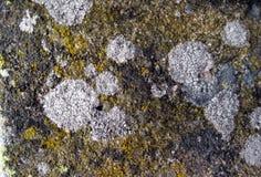 Lichene bianco e giallo su una roccia Immagine Stock