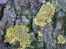 Lichene che cresce su un albero di olmo Fotografie Stock
