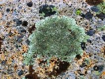 Lichene Colourful sulle rocce alla spiaggia Fotografie Stock Libere da Diritti