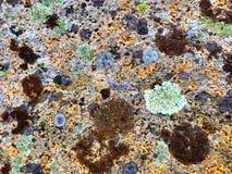 Lichene Colourful sulle rocce alla spiaggia Immagine Stock