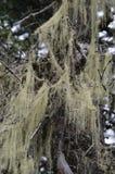 Lichene dell'albero fotografia stock