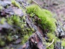 Lichene e muschio Fotografia Stock Libera da Diritti