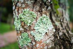 Lichene in foresta, foresta pluviale muscosa, fuoco molle Immagine Stock