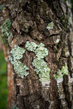 Lichene in foresta, foresta pluviale muscosa, fuoco molle Fotografia Stock Libera da Diritti