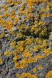 Lichene giallo Fotografie Stock Libere da Diritti