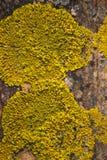 Lichene giallo fotografia stock