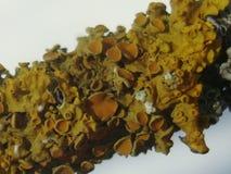 Lichene giallo Immagini Stock Libere da Diritti