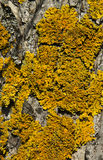 Lichene giallo su una corteccia di albero Fotografie Stock Libere da Diritti