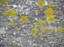 Lichene giallo sul bordo di legno Fotografia Stock