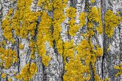 Lichene giallo sul fondo della corteccia del tronco di albero fotografia stock libera da diritti