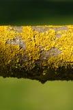 Lichene giallo sulla filiale di albero Immagine Stock
