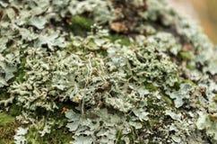 Lichene grigio sull'albero Immagini Stock