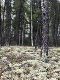 Lichene nella foresta fotografia stock