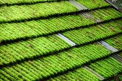 Lichene sopra il tetto della casa Fotografia Stock