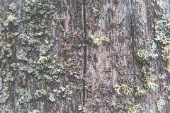 Lichene su legno di legno fotografie stock libere da diritti