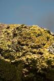 Lichene su un albero Fotografia Stock