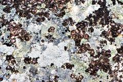 Lichene su una roccia fotografie stock