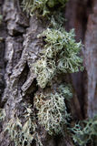 Lichene sul primo piano dell'albero Immagini Stock Libere da Diritti