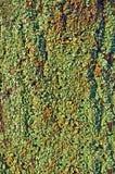 Lichene verde Immagini Stock