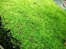 Lichene verde Immagine Stock