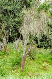 Lichened tree in the mountain rainforest, lichens on trees in Tanzania, Africa stock photography
