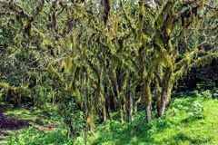 Lichened trees in the mountain rainforest, lichens and epiphytes on trees in Tanzania, Africa stock photos
