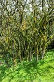 Lichened trees in the mountain rainforest, lichens and epiphytes on trees in Tanzania, Africa stock image